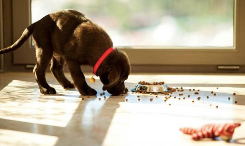 puppy eating dried dog food scattered on floor