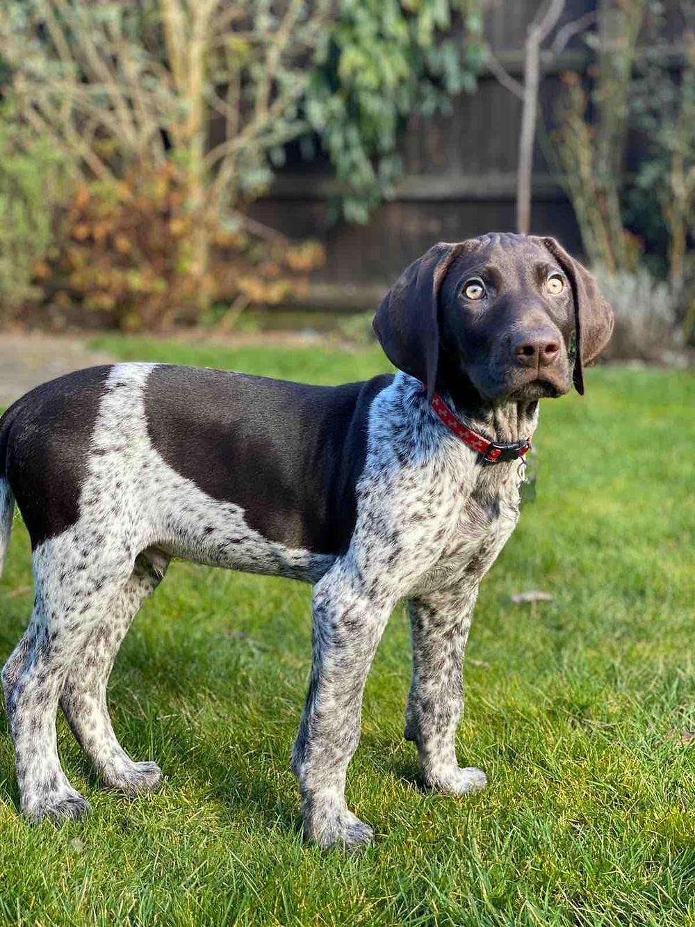 A German short haired pointer dog in the garden