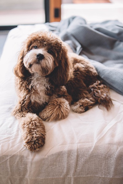 brown and white cockapoo lying on a bed