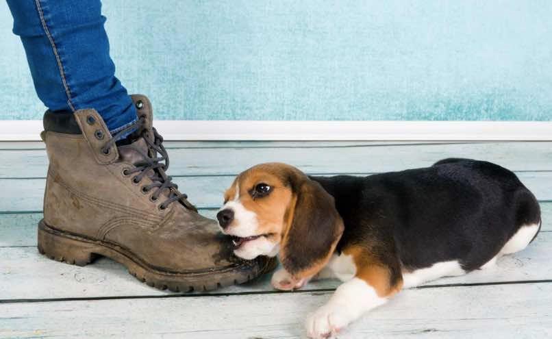 Puppy biting a shoe