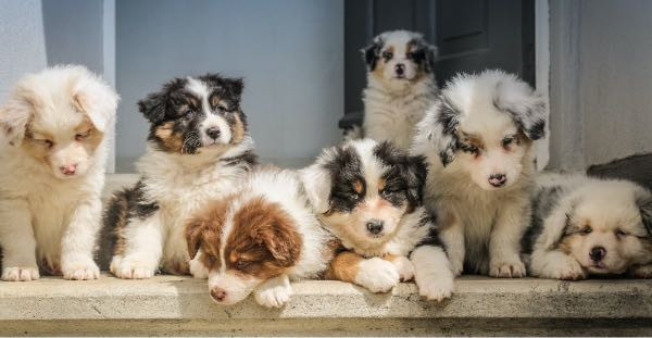 A litter of fluffy, cute puppies lying on a step