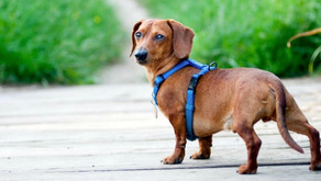 Best Dog and Puppy Harnesses UK