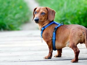 Best Dog Harnesses UK : Choosing a Harness
