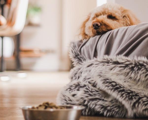 Cockapoo ignoring dog food