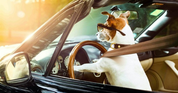 Jack Russell dog driving a car