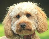Freddie a cockapoo dog