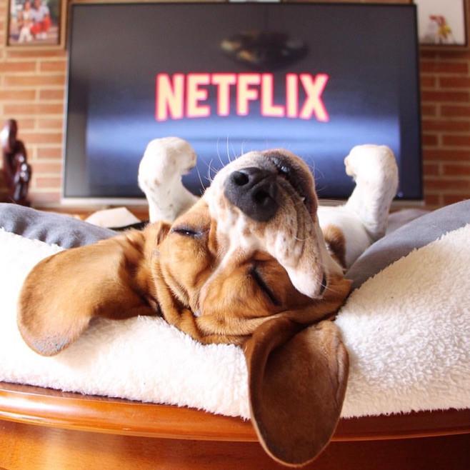 A dog laying on a sofa watching Netflix