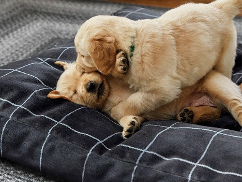 Two puppies playing on an indestructible Orvis dog bed