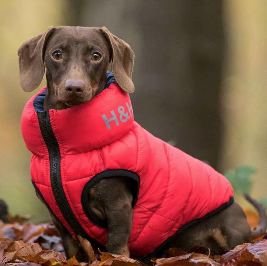 a bright blue Hugo & Hudson dog puffer coat