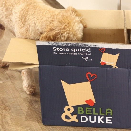 Dalmatian with head in box of Bella and Dukes raw dog food