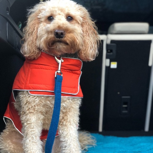 A cockapoo wearing a doodle bone waterproof dog coat