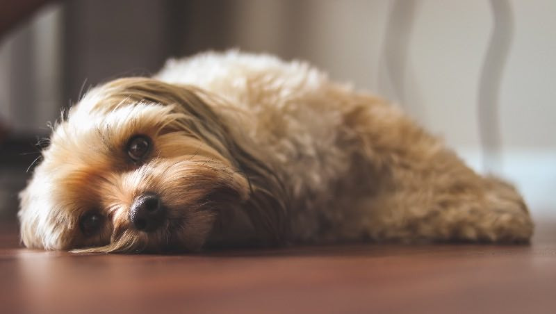 Tired, cute puppy laying on the floor