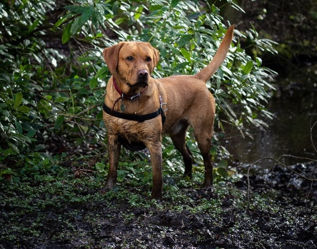 Muddy Labrador Dog standing in mud