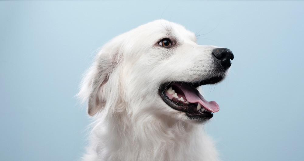 White dog showing super clean teeth