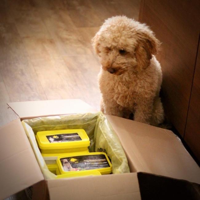 Cockapoo and box of proDog Raw dog food