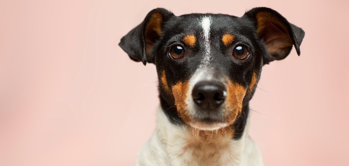 a terrier dog looking at the camera