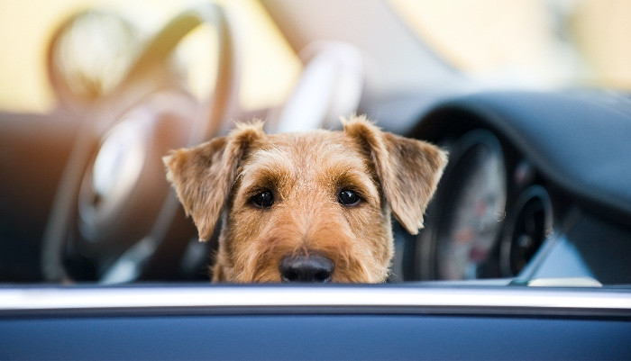 Travel sick Dog sitting in car looking out of open car window