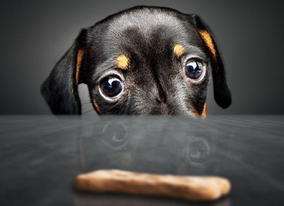 Dashchund staring at dog biscuit in dog scavenger hunt