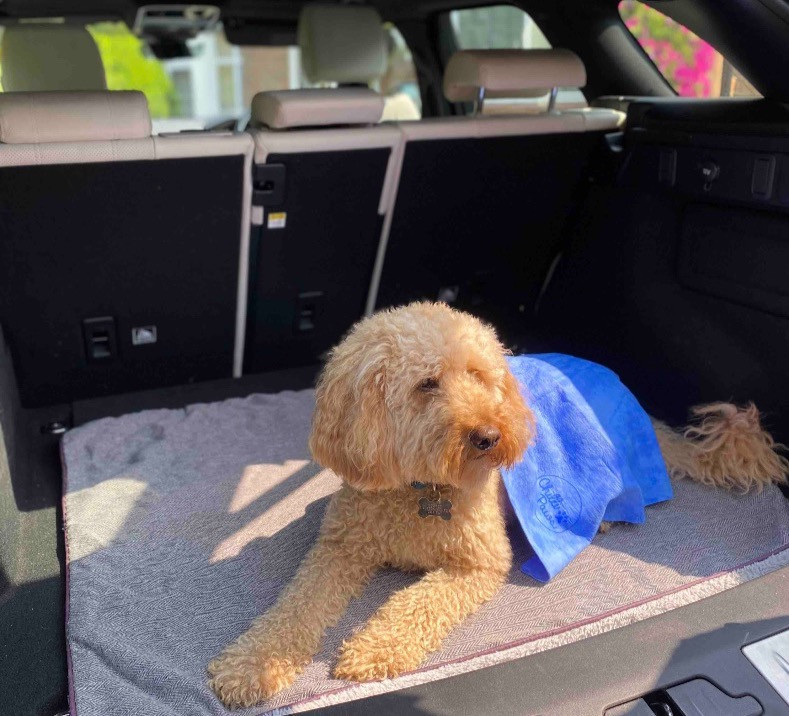 cockapoo in car boot with cooling towel on his back