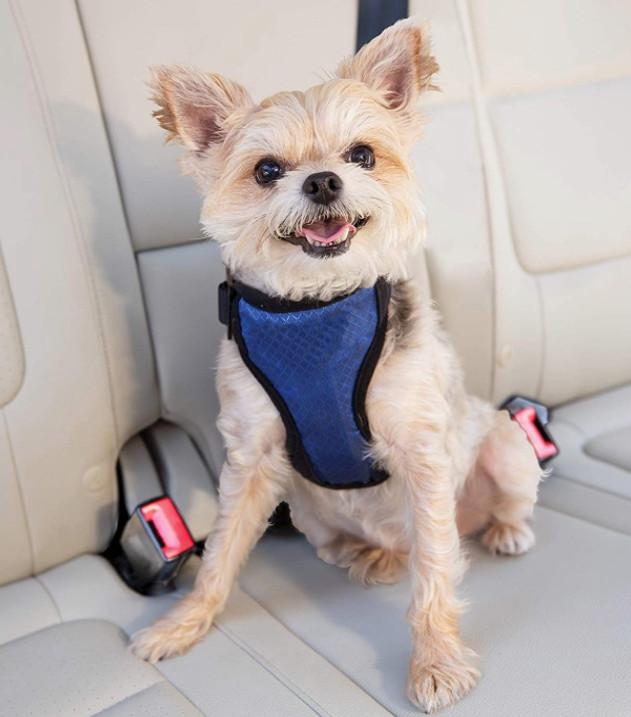 Dog in a crash tested blue dog harness