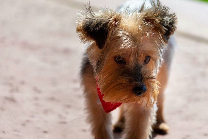 Terrier dog walking on the sand in the summer
