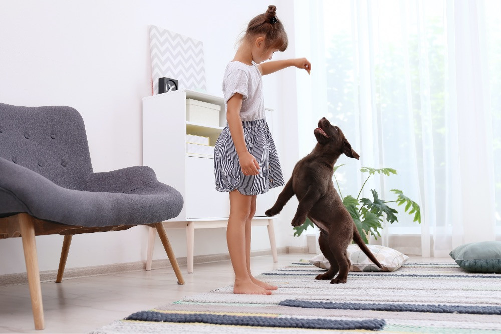 A young girl with a puppy training treat in her hand training a chocolate brown Labrador