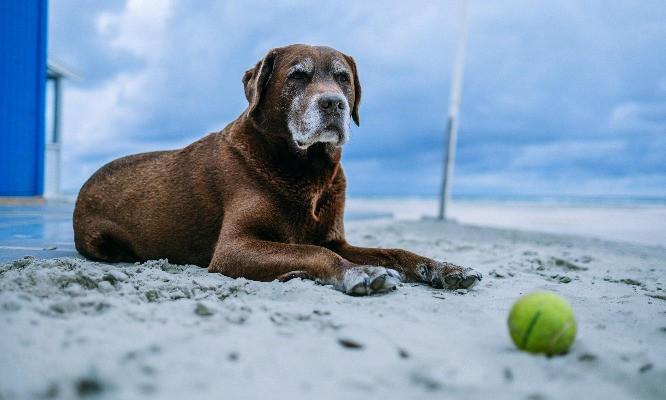 Older dog lying on the sand at the beach