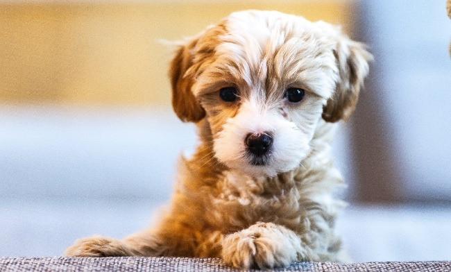 brown puppy sitting up