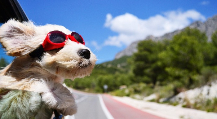 Puppy in car looking out of the window wearing red sunglasses