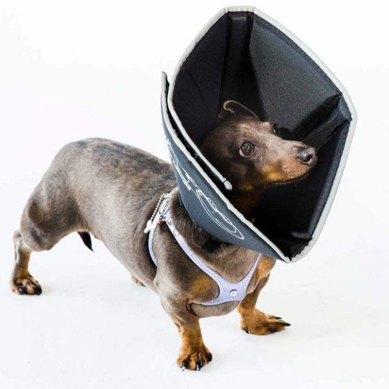 Dachshund wearing a comfy cone for dogs
