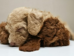 New Puppy Checklist : Getting a Puppy
