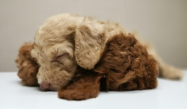 brown puppy asleep with soft toy