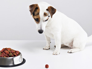 Why is my Dog a Fussy Eater?