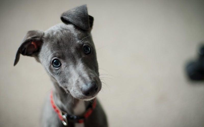 adorable grey puppy staring at camera
