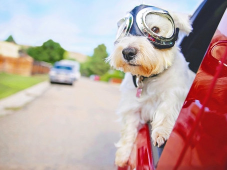 How to Cure Dog Car Sickness
