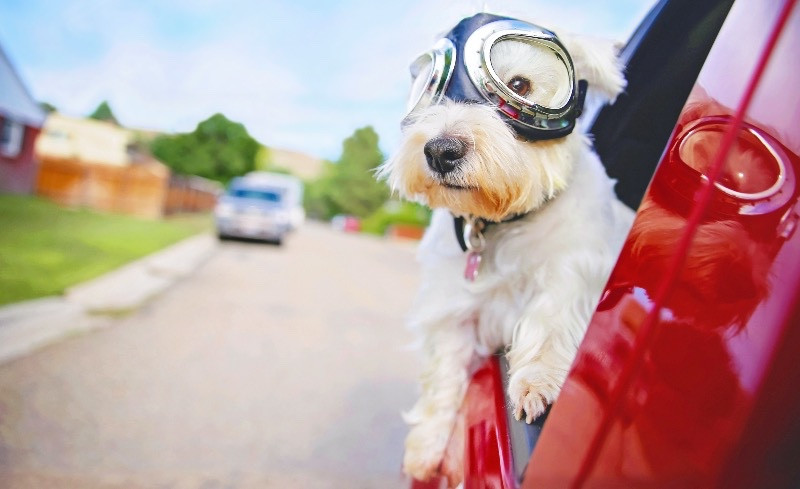 White dog watching out of car window with goggles on