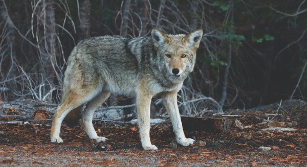 Wolf in wooded area
