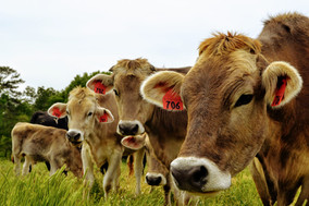 Brown Swiss cows, heifers, and calf