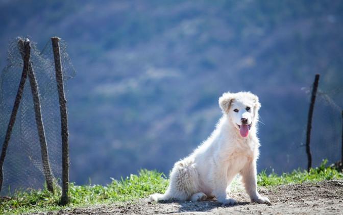 Abruzzese Sheepdog Puppy