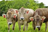 Braunvieh heifers