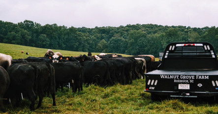 Commercial Angus herd with Brown Swiss bulls