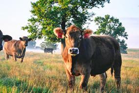 Swangus steers