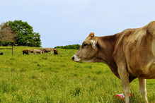 Brown Swiss cow with heifers in the distance