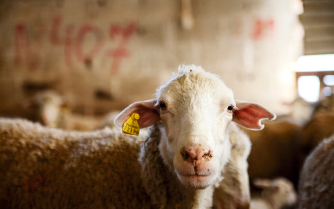 Sheep at Porta dei Parchi