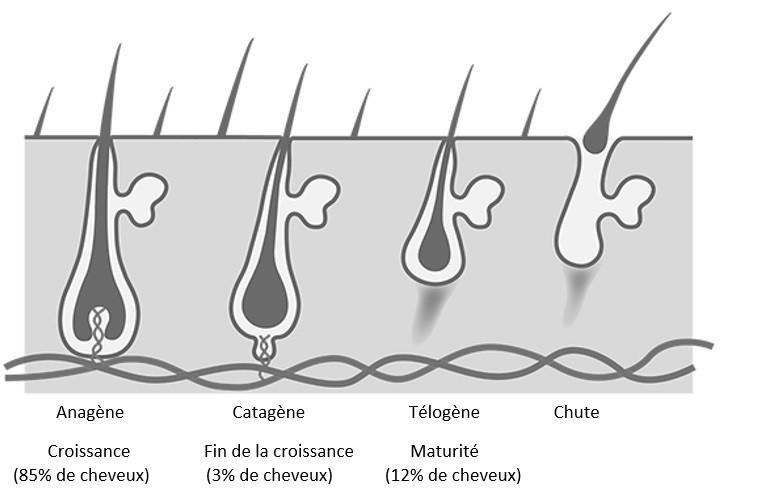 Le cycle de la chute des cheveux