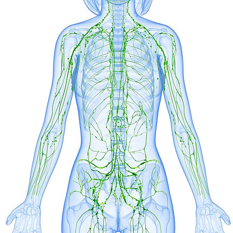 lymphatic system.jpg
