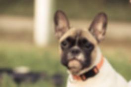 french-bulldog-2934693_1920.jpg