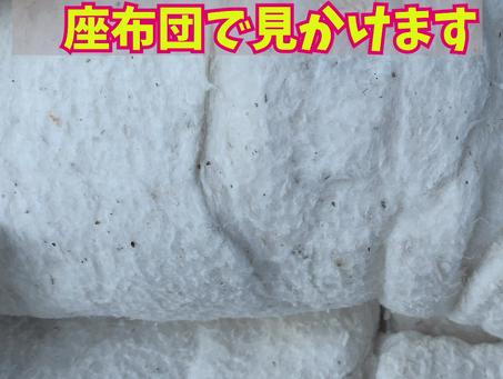 しっかり綿のご紹介