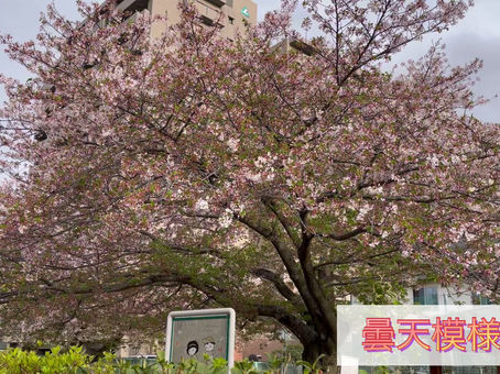 桜吹雪が素敵です(^^♪