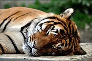 tigre endormi de la crête des cerfs à Bouillon